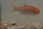Koi goldfische shubunkin eigene fischzucht hagmans for Kleine teichfische