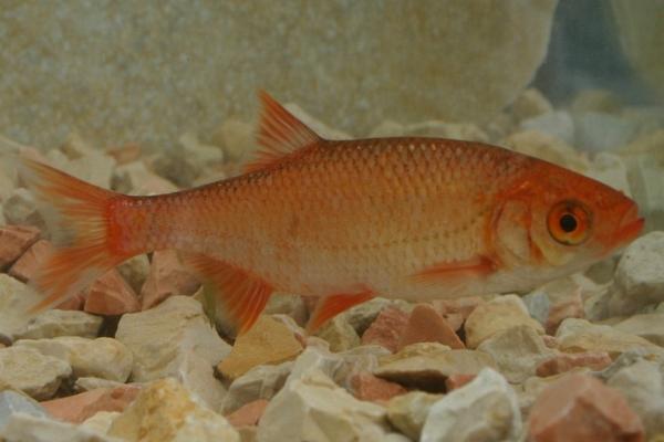 Koi goldfische shubunkin eigene fischzucht hagmans for Rotfeder gartenteich