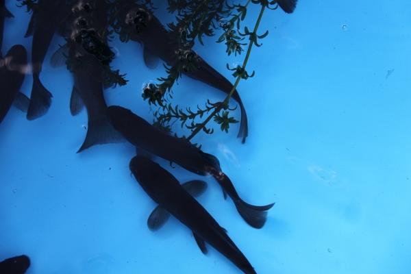 Koi goldfische shubunkin eigene fischzucht hagmans for Teichfische die algen fressen