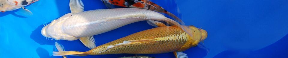 koi goldfische shubunkin eigene fischzucht hagmans