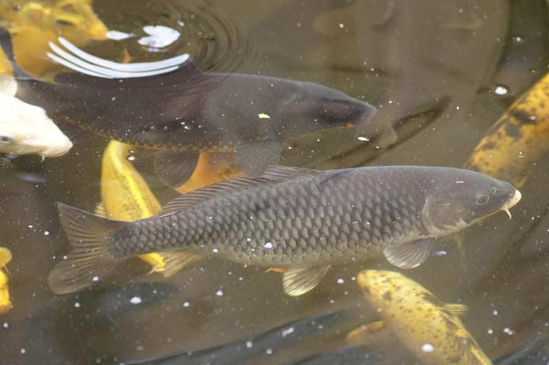 Koi farben hagmans teiche gmbh for Japanische teichfische