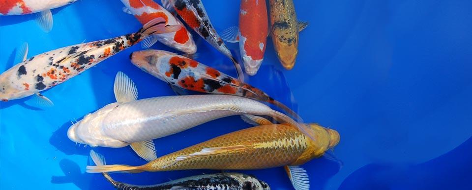 Kois aus kevelaer koizucht hagmans teiche gmbh for Teichfische shubunkin